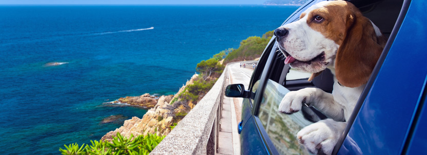 Dog on holiday looking out car window
