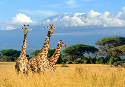 Giraffes on safari, Mount Kilimanjaro