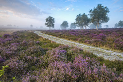 Heather fields, Suffolk