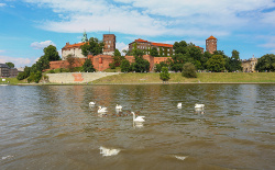 Swans on a lake in Krakow, Poland