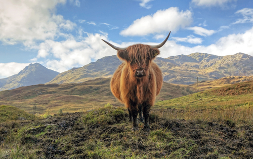 Scottish Highlands cow